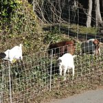 goats on the course!