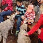 Milking the lamb.