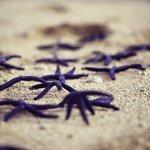 Common blue starfish