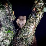 pine martin in tree