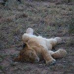 Lion cub @ Ol Kinyei Conservancy