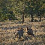 Warthog @ Ol Kinyei Conservancy