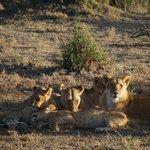 Lions @ Ol Kinyei Conservancy