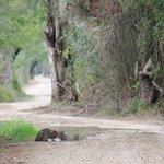 Bobcat at Santa Ana national wildlife refuge 2012