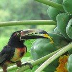 Un tucán comiendo papaya