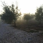 The olive groves