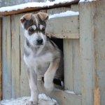 Wild Spirit Park husky pups