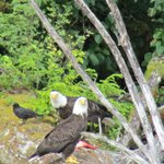 Two eagles eating a salmon on a fallen tree beneath their nest.