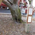 Milburns Oldest Tree & Orchard deck