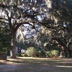 Ancient live oaks.