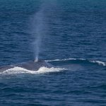 Blue whale blowing