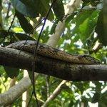 boa snake on a branch