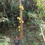 our guide in front of a breadfruit tree