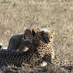 Cheetah mom & cub