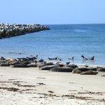 Robben auf der Helgoländer Düne