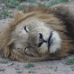 hard life being a Lion!!!