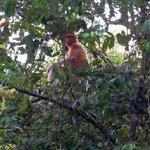 Proboscis monkey!