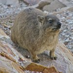 hyrax are all over the rocks