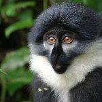Blue Monkey near Bwindi