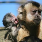 Brown Capuchin with her baby
