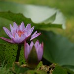 Lotus in Front of the Cottage