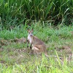 Wallaby in der Nähe des Airstrips