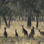 Kangaroos from our Bedroom Window