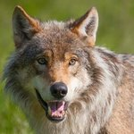 Wolf image taken during the course