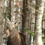 Elk in the wood on Tzar road