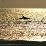 Dolphins playing at sunset