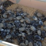 Sea Turtles that hatched our last morning