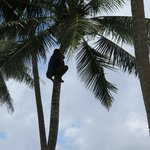 Staff climbing a tree to get coconuts