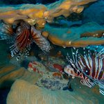 A pair of lion fish