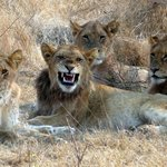 """jeune lion déjà entouré de son harem qu""""il entend défendre!"""