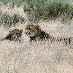 Jeune guépard et sa mère