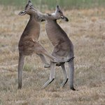 Young male Eastern Grey Kangaroos play fighting