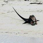 Endangered Exuma Rock Iguanas