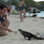 Feeding the endangered Exuma Rock Iguanas