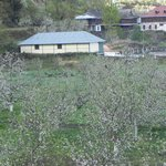 Blossomed apple trees