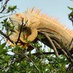 One big iguana