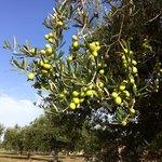 Olive trees near pool