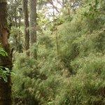Bambus-Unterwuchs auf dem Huitepec