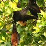 Giant Fruit Bats - they do not bother you, they just hang about in daytime