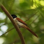 Female Paradise Fly Catcher