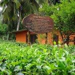 Nearby tea plantation