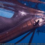 Costa Rica Fishing for Sailfish Blue, Black and Striped Marlin