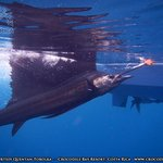 Pacific Sailfish caught at Crocodile Bay, Costa rica