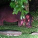 hippo a 10 m de la guest house by night