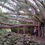 The Majestic Banyan Tree