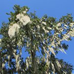 Beautiful trees covered in the spanish moss